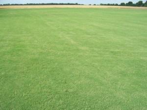 Tif-419 Bermuda Grass