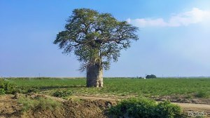 This is a Baobab tree. We see a lot of these around and some of them are big enough that if you would cut a hole in the middle you could drive your car though them.