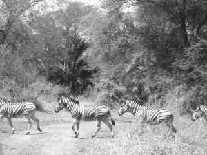 Zebras in Nyala Park